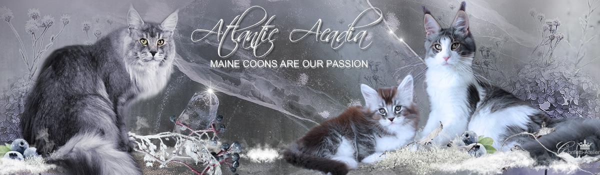 Maine Coon Zucht Niedersachsen www.atlantic-acadia.de